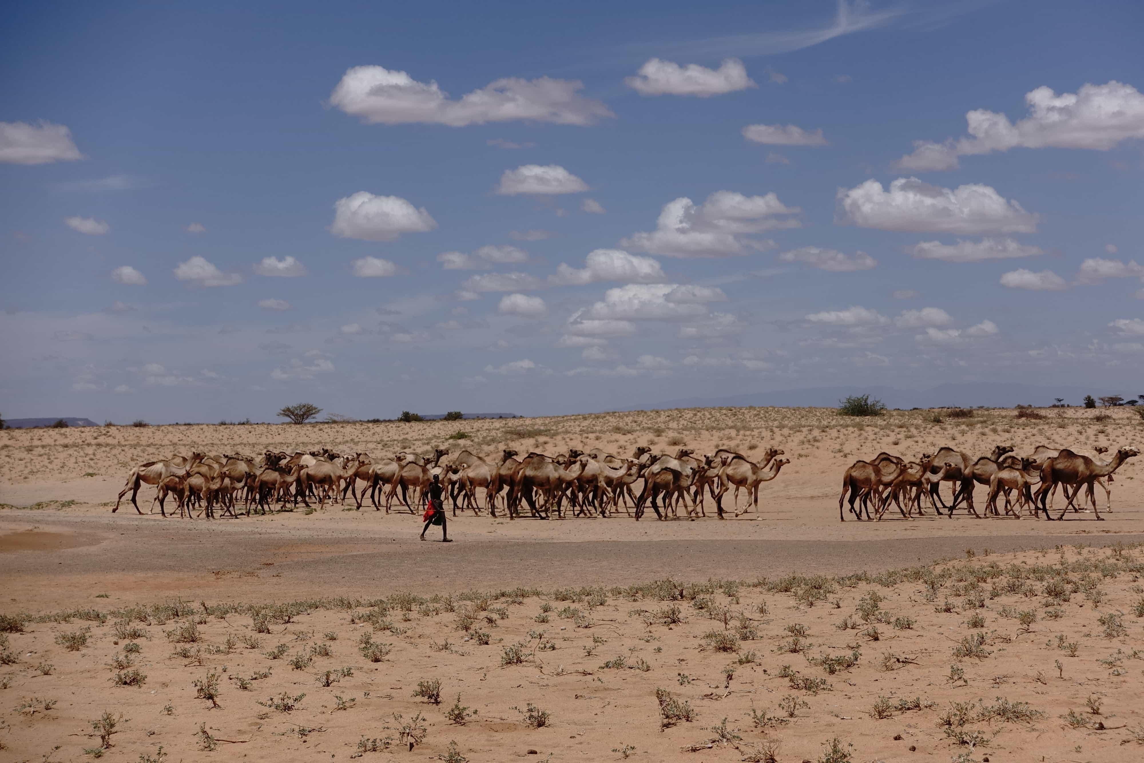 Pastoralister med dromedarer, oftest i kæmpe grupper med flere hundrede for at undgå voldelige angreb. Foto: Shafiur Rahman, Danwatch.