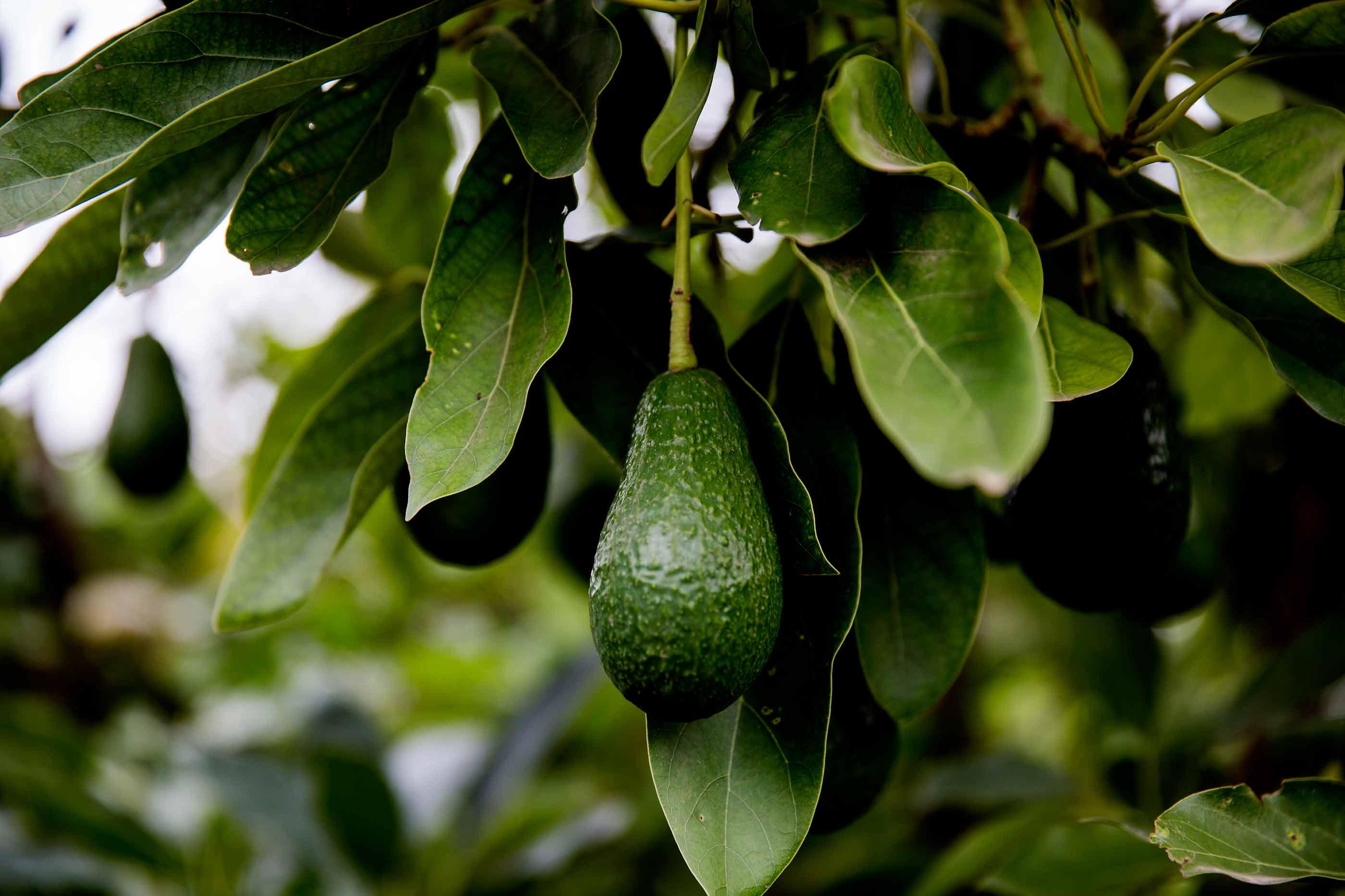 Avocadoerne og det store vandtyveri
