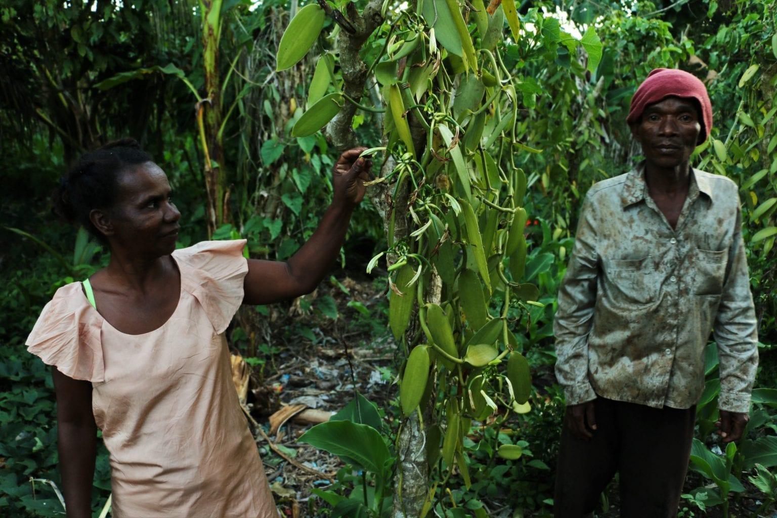 Ægteparret Soa og Bidi er ansat til at passe på, at vaniljen ikke bliver stjålet fra en vaniljemark. De bor omgivet af orkidéerne, som de passer for en ejer. Foto: Per Lykke Lind/Danwatch
