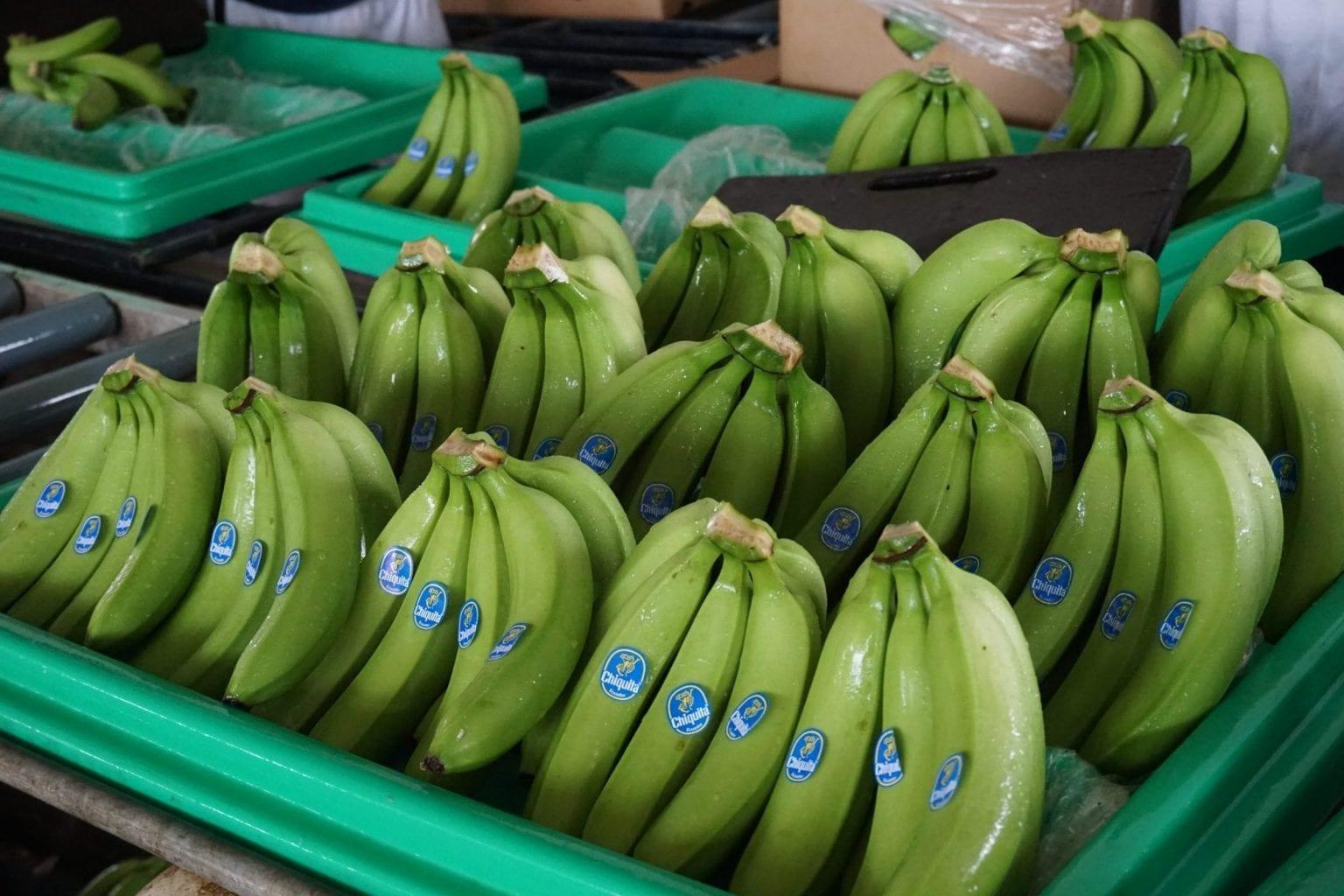 Chiquitas velkendte logo kan ses på bananerne, der produceres i området.