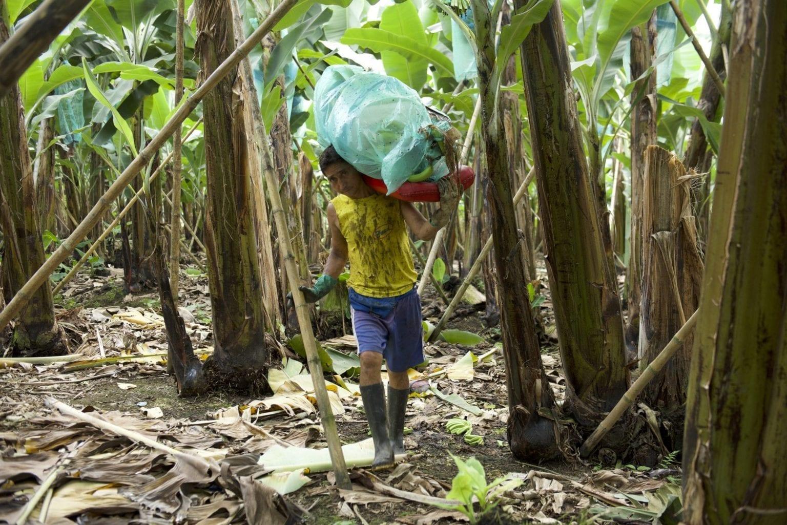Arbejder på bananplantage.