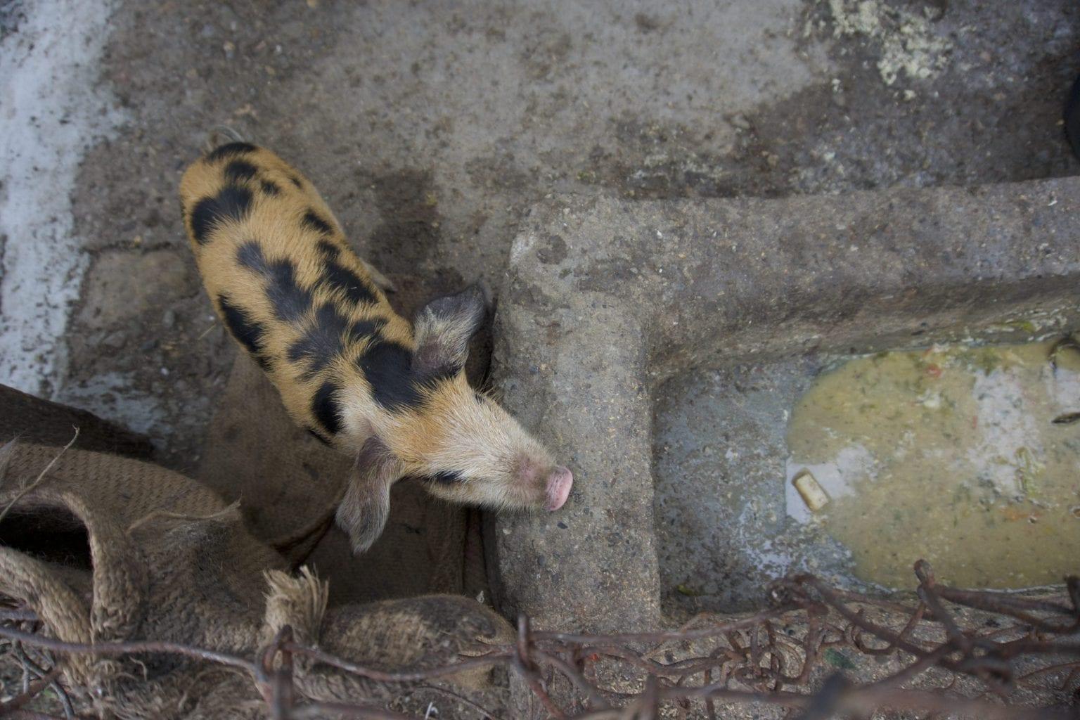 To smågrise er det nyeste tilskud til Rohit Pulamis familielandbrug. Pulami, der er blandt de nærmeste naboer til Carlsbergs bryggeri, er bekymret for soden fra bryggeriet.