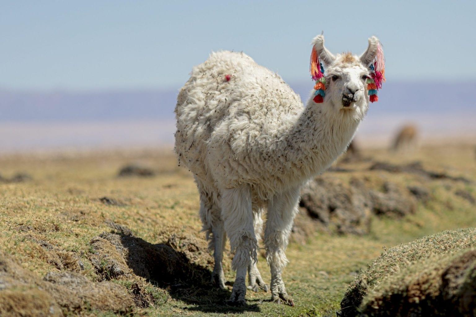 Lama på et af de mere frodige områder af Atacamas slette.
