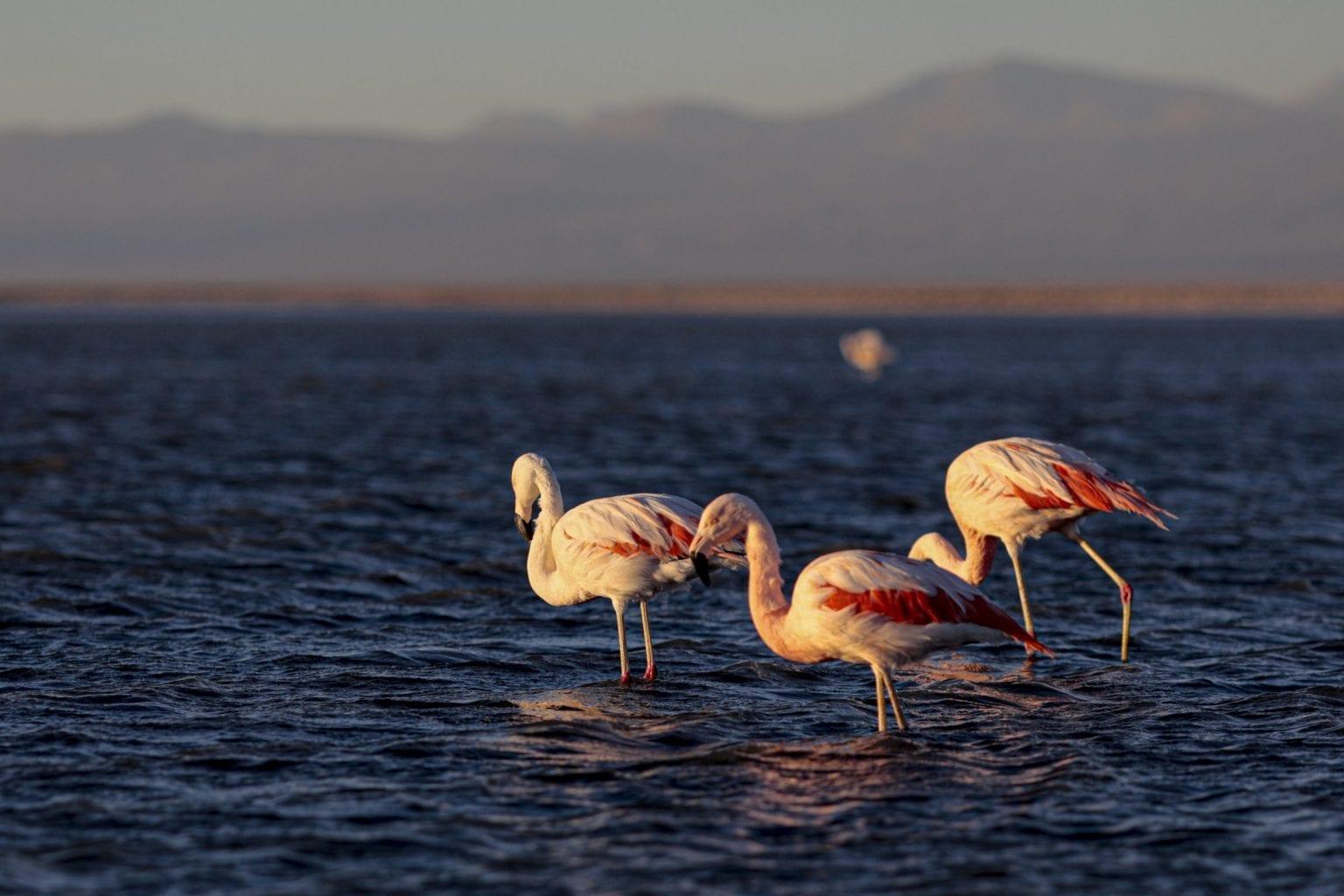 Atacama er kendt for sine andesflamingoer, der lever af saltsøernes alger.