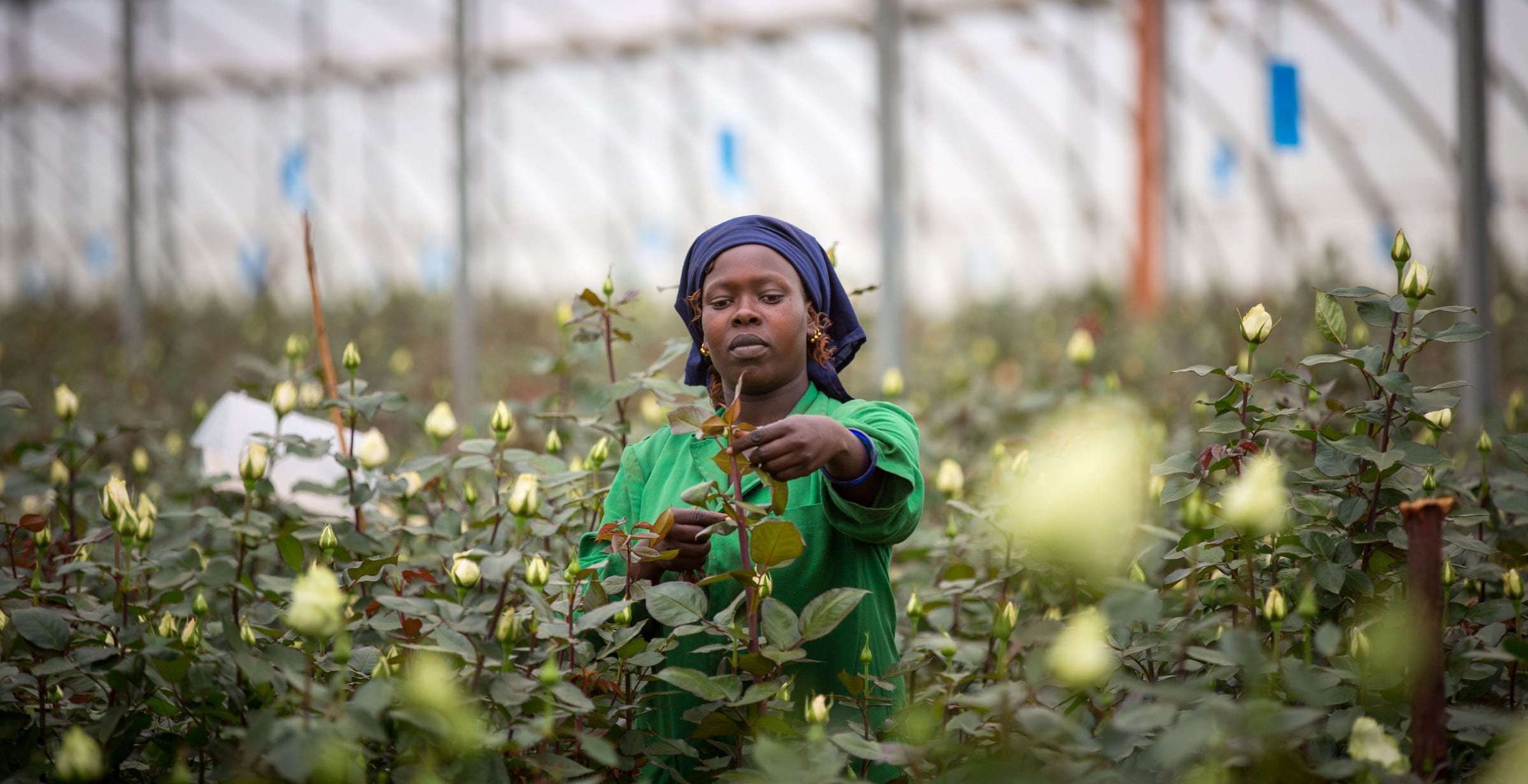 KENYA, Timau: In a photograph taken by the Kenyan Ministry of East African Affairs, Commerce and Tourism (MEAACT) 26 July 2015, a farm worker tends to roses growing inside a greenhouse at Kisima Farm in Timau, Meru County, central Kenya, approx. 250km north of the capital Nairobi. MANDATORY CREDIT: MEAACT PHOTO / STUART PRICE.