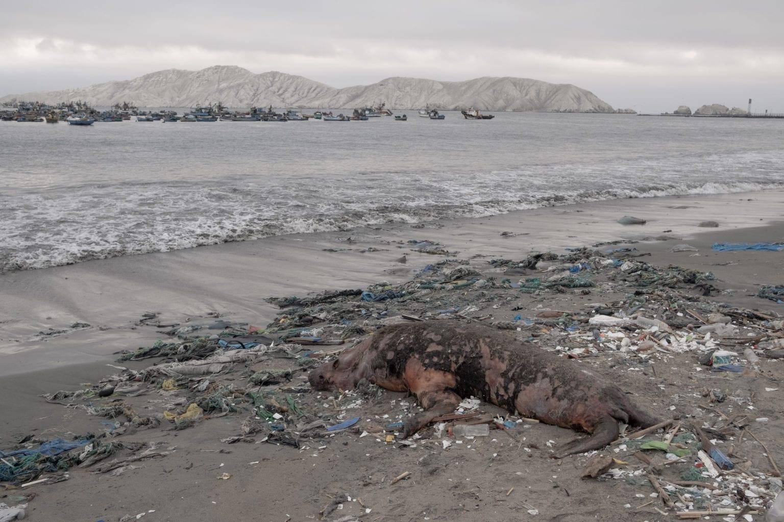 Langs kysten i Chimbote ligger døde søløver i skidtet, der skyller op fra bugten. I baggrunden ligger små industrikuttere, som fanger fisk til fiskemelsfabrikken TASA.
