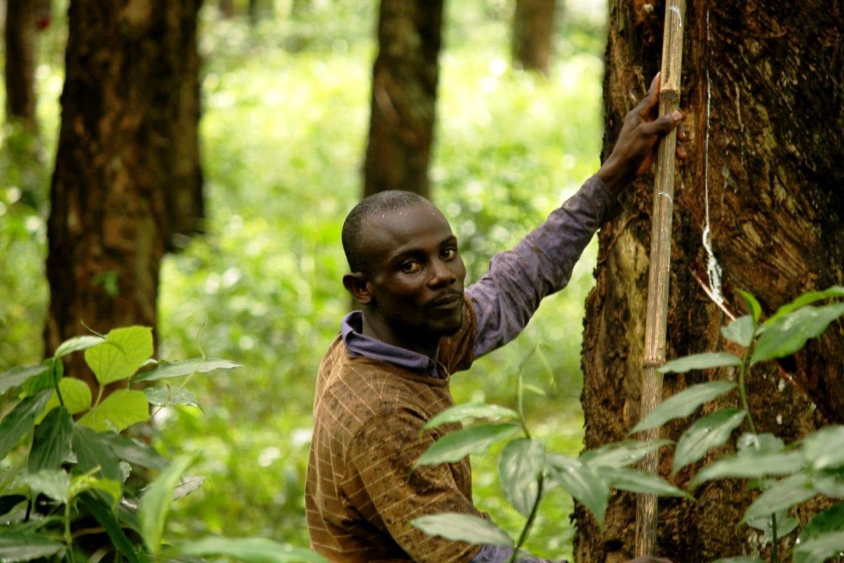 Opa Johnson tapper et gummitræ for latex på Firestones gummiplantage i Liberia. Det har han gjort de sidste 6 år. Hver uge skal han nå at tappe 500 træer.  Foto: Solidarity Center/Bill E. Diggs.
