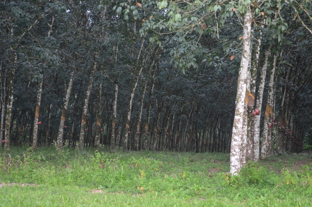 Gummitræerne står på lige rækker i plantagen, så det er let at få overblik over, hvor langt arbejderne er nået i deres daglige arbejde.  Foto: Jbdodane, Flickr