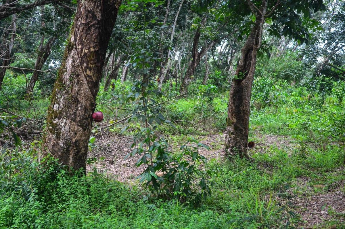 Latexmassen drypper fra gummitræerne og ned i røde spande, som hænger ved såret i barken. Tapperne henter spandene, når de er fyldte og holder øje med, om det er tid til at skære en ny rille i træet, som latexen kan sive ud af. Foto: Jbdodane, Flickr