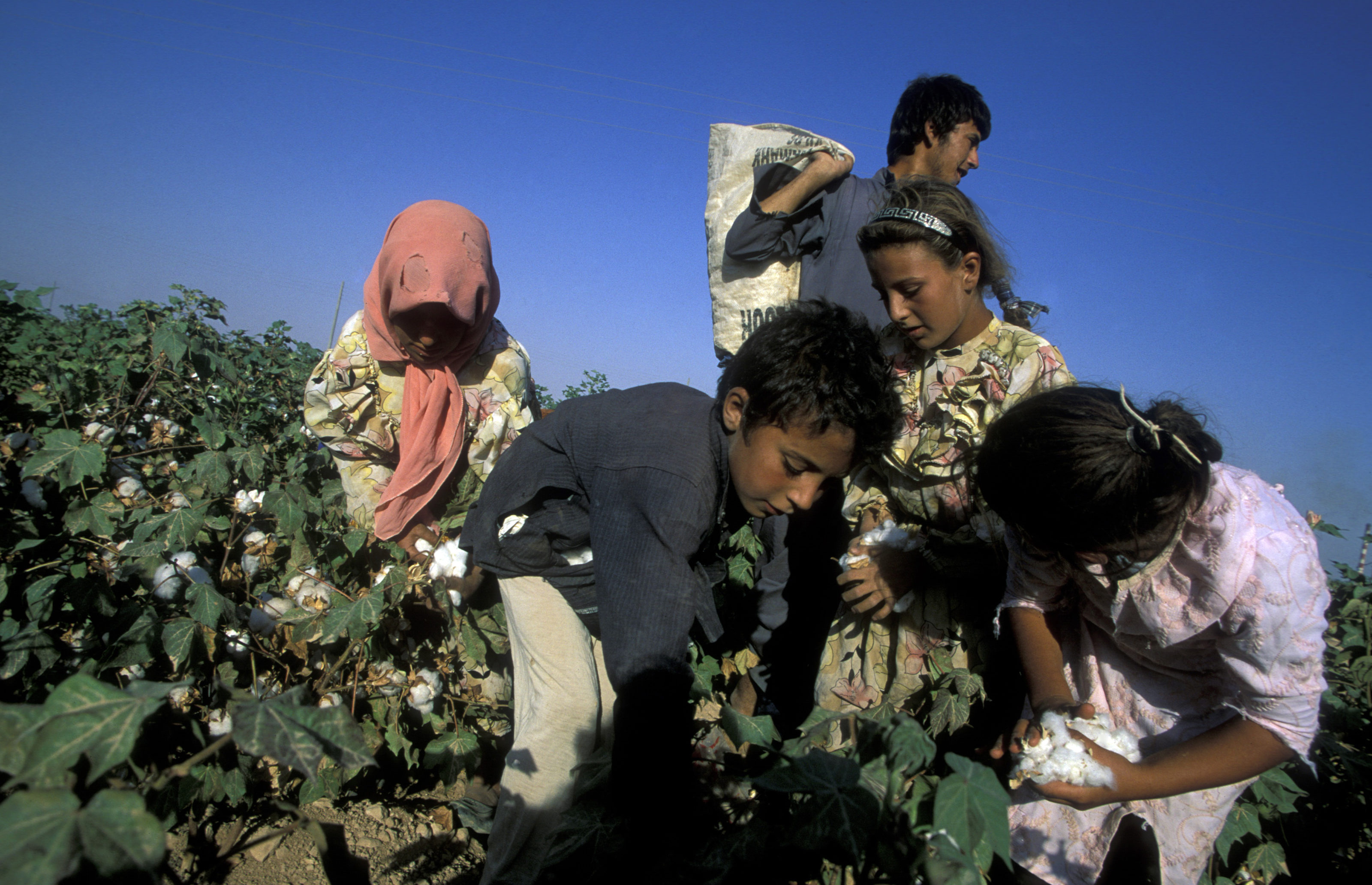 childern earning cotton on a Cotton Plantation near the city of Aleppo in Syria in the middle east